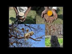 Medicinal Rice P5O Formulations for Carmona Excess: Pankaj Oudhia's Medi...