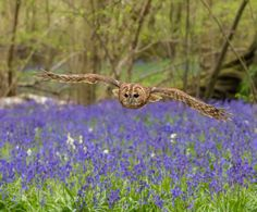 Low flying in bluebells wood's by swhitehead135 #animals #animal #pet #pets #animales #animallovers #photooftheday #amazing #picoftheday
