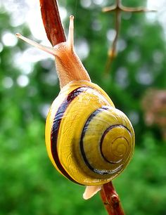 White-lipped Snail carries its spiral around wherever it goes.