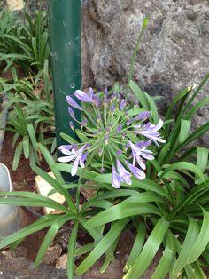 agapantus. Plants, Flowers, Plant, Planting, Planets