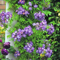 Rosa 'Veilchenblau' - dark magenta rambler - David Austin Roses