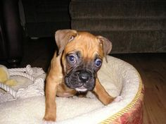 Photo of Boxer Puppy for fans of Dogs 15028097 Boxer Dogs, Boxers, Boxer And Baby, Dog Photos, Dogs And Puppies, Fans, Babies, Animals, Babys