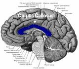The corpus callosum is a band of nerve fibers that divides the cerebral cortex lobes into left and right hemispheres, connecting the sides of the brain. Medical Art, Medical School, Corpus Callosum, Cerebral Cortex, Nerve Fiber, Frontal Lobe, Panic Attacks, Brain Activities, Seizures