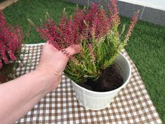 Jednoduchý trik, ako docieliť, aby vám vresy nevysychali a kvitli celú sezónu | 3 Planter Pots, Herbs, Flowers, Gardening, Tips, Gardens, Lawn And Garden, Herb, Royal Icing Flowers