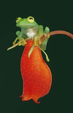 Glass Frog sitting on a flower, Costa Rica