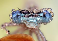 Outstanding macro shot of a dragonfly covered in dew. Photo by Ondrej Pakan.