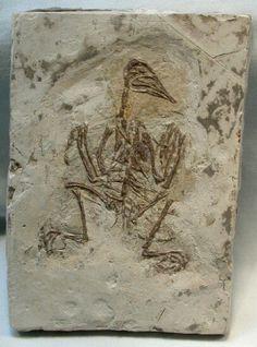 Cathayornis yandica Fossil Bird