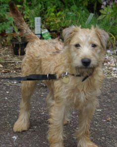 My puppy, Oonagh! She is still in Ireland, but will be with us in a few weeks! Pedigreed Irish Soft Coated Wheaten Terrier puppy, almost 5 months old!