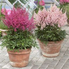 Astilbe Younique Lilac/Younique Salmon - Longfield Gardens - Gardening For Life Container Flowers, Container Plants, Container Gardening, Outdoor Plants, Outdoor Gardens, Pot Jardin, Astilbe, Shade Plants, Shade Garden