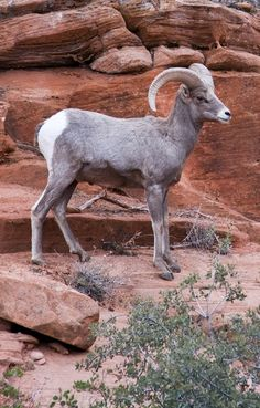 Texas Bighorn Sheep Sheep Pig, Sheep And Lamb, Trophy Hunting, Hunting Tips, Texas Animals, Big Horn Sheep, National Parks Usa, Mule Deer, Texas History