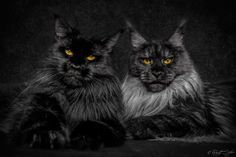"""* * DARKER CAT: Weez be de bad boys on Block Watch. We nots be fly weights,either."""" http://www.mainecoonguide.com/maine-coon-personality-traits/"""