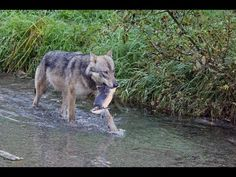 Wolf eating salmon after chasing grizzly away, Hyder, Alaska Hyder Alaska, Salmon, Husky, Rivers, Dogs, Nature, Animals, Google, Youtube