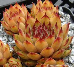 "Succulent. (""Sempervivum  'Hugo'.)"