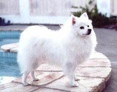 American Eskimo Dog, : Appearance, Temperament, Behavior, Qualities, Training, Exercise, Health Issues, Picture, Height and Weight : nextdogbreed.com