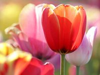 Jak sklízet a skladovat cibule tulipánů?