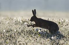 Brown Hare running in a meadow at spring, GB