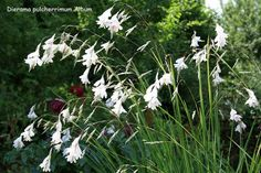 About this cultivar: Dierama 'Guinevere' is a wonderfully beautiful cultivar. Tufts of grassy foliage send up masses of pure white flowers hanging from 'fishin Sun Plants, Cool Plants, Garden Plants, Vegetable Garden, Coastal Gardens, White Gardens, Angels Fishing Rods, Dried Flowers, White Flowers