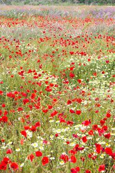 poppy field in France Marta Muñoz-Calero Calderón Wild Flower Meadow, Wild Flowers, Fresh Flowers, Beautiful Gardens, Beautiful Flowers, Exotic Flowers, Purple Flowers, Felder, Photography Workshops