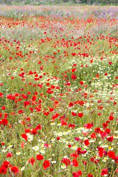 Field of poppies in France and somewhere in there could be my sister getting the perfect picture!