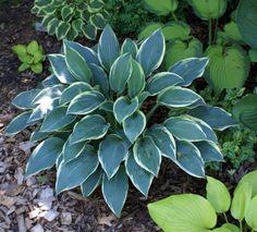 Hosta 'Sleeping Beauty' - An elegant blue hosta! Hosta Plants, Buy Plants, Shade Plants, Garden Plants, Blue Garden, Shade Garden, Jardins D'hostas, Blue Hosta, Plantain Lily
