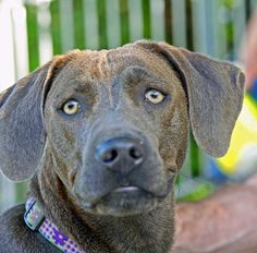 The Blue Lacy is a breed of working dog that originated in Texas in ...
