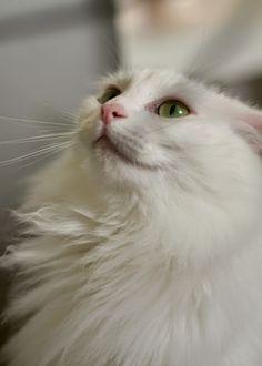 Silly Turkish Angora cat