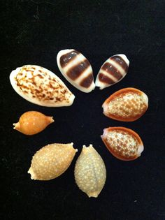 More baby cowries.