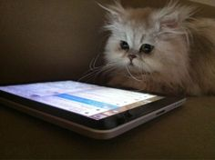 Famous Turkish Cat Suffers From Email Addiction
