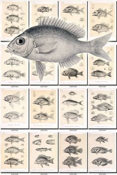 FISHES-30-bw Collection of 102 vintage images natural nature large size scan picture High resolution digital download printable water animal           data-share-from=listing        >           <span class=etsy-icon