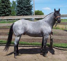 blue roan quarter horse - Google Search