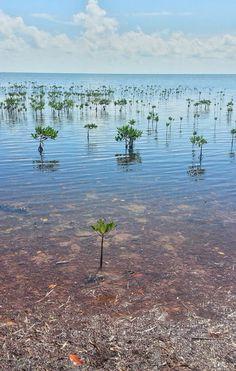 Cancún #mangrove