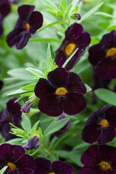 Calibrachoa 'Can Can Black Cherry' [calibrachoa 'Black Million Bells', plugs available from Sarah Raven – apparently flowers copiously and requires … Long Flowers, Dark Flowers, Beautiful Flowers, Petunia Tattoo, Blossom Garden, Container Plants, Flower Containers, Garden Plants, Green Garden