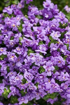 """Snowstorm Blue Bubbles Sutera has double blue flowers that cover this plant. Truly beautiful on its own in a hanging basket, or as a filler in a mixed container. Best in full sun--this charmer will reach 6"""" in height with a spread of 14""""."""