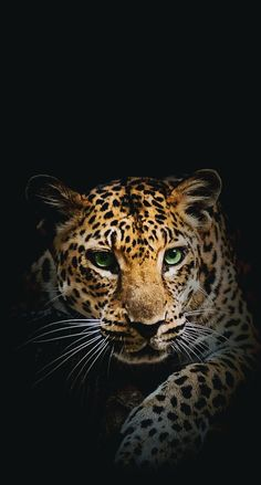 Wild animal jaguar iphone wallpaper animals iphone - Jaguar animal hd wallpapers ...
