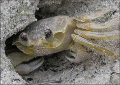 Ghost Crab!