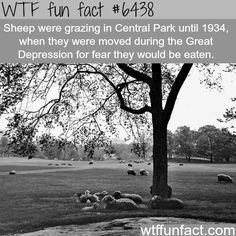 Sheep in Central Park - WTF Facts : funny, interesting & weird facts Wtf Fun Facts, True Facts, Funny Facts, Random Facts, Random Stuff, Interesting Information, Interesting History, Interesting Facts, Did You Know Facts