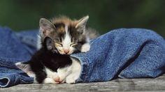 Sleeping Kittens photography animals sweet cat sleep pets jeans kitten kitty