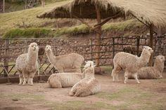 Alpaca, Peru