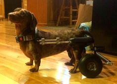 Meet the Newest Dog to Get a Wheelchair Courtesy of The Frankie Wheelchair Fund
