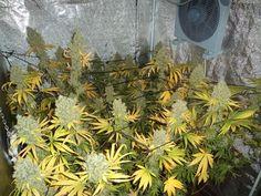 Snow White around 9 weeks will be cut this week....#cannabis #seeds #wiet #zaden