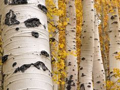 Aspen trees in autumn with yellow leaves - bark detail