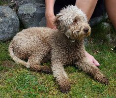 """The Lagotto Romagnolo is a breed of dog that comes from the Romagna sub-region of Italy. The name means """"lake dog from Romagna,"""" coming from the Italian word lago, lake. Its traditional function is a gundog, specifically a water retriever. Wikipedia"""