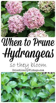 When to Prune Hydrangeas so they bloom! http://eclecticallyvintage.com