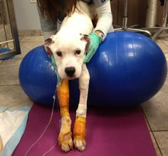 Freckles undergoes physical therapy to help him regain his strength and motor skills. | Abused, Starved, and Dragged By a Car: A Pit Bull Puppy Named Freckles Somehow Survives