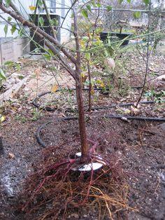 prunus roots