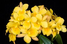 Ctna. Why Not 'Makana Ke Akua' - Orchid Board - Most Complete Orchid Forum on the web !