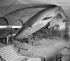 Installing a blue whale - Retronaut. Milstein Hall of Ocean Life, American Museum of National History