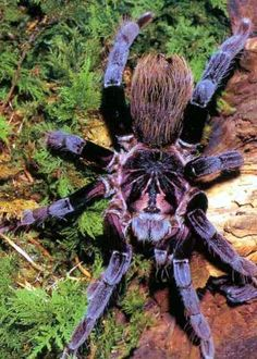 Xenesthis Immanis...spider