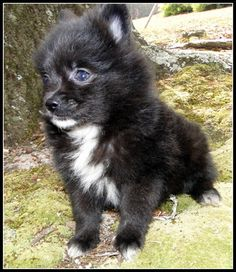 Pomeranian puppy for sale in STATHAM, GA. ADN-24894 on PuppyFinder.com Gender: Male. Age: 7 Weeks Old