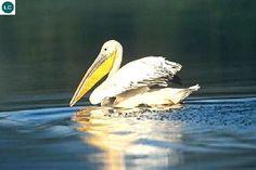 ☎️ https://www.facebook.com/WonderBirdSpecies/ 🍣🍣🍣🍣 Great white pelican (Pelecanus onocrotalus); From eastern Mediterranean east to Indochina and Malay Peninsula, and south to South Africa; 📚 IUCN Red List of Threatened Species 3.1 : Least Concern (LC)(Loài ít quan tâm) 🐥 Bồ nông chân hồng; Từ đông Địa Trung Hải đến Đông Dương và bán đảo Mã Lai, phía nam đến tận Nam Phi; HỌ BỒ NÔNG - PELECANIDAE (Pelicans).